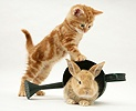 Ginger kitten with young rabbit in a watering can
