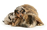 Dachshund pup with rabbit