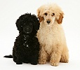 Black and Apricot Miniature Poodles, sitting together