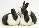Baby Black Dutch rabbits