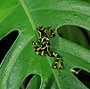 Arrow Poison Frog