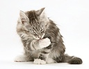Tabby-and-white Maine Coon kitten washing