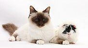 Birman cat and black-and-white Guinea pig