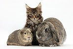 Maine Coon kitten with rabbit and guinea pig