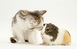 Guinea pig and Maine Coon kitten