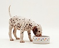 Dalmatian pup, 7 weeks old, drinking from a bowl