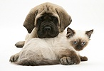 English Mastiff pup with young Birman-cross cat