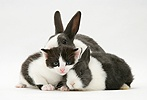 Black-and-white kitten with grey-and-white rabbits