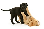 One black and one yellow Labrador pups playing