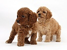 Two Cavapoo pups, 6 weeks old