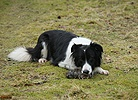 Border Collie eating a dead rat