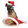 Border Terrier pup and Ginger kitten in Santa hats