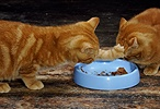 Two ginger kittens scrapping over food