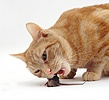 Ginger cat eating House Mouse prey