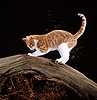 Ginger-and-white cat sharpening his claws on a branch