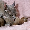 Mother cat licking on of her kitten as it urinates