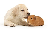 Yellow Labrador pup and red Guinea pig