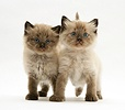 Birman-cross kittens