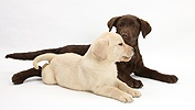 Chocolate and Yellow Labrador pups