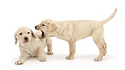 Yellow Labrador puppies, 8 weeks old, play-fighting