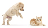 Yellow Labrador pup pouncing on ginger kitten