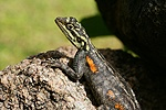 Rock Agama female