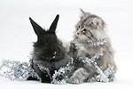 Maine Coon kitten and black rabbit with tinsel