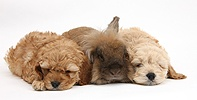 Sleepy Golden Cockapoo pups and rabbit