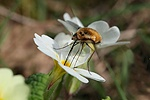 Bee Fly visiting Primrose flower