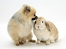 Pomeranian dog and Sandy Lop rabbit