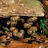 Garden Snails hibernating