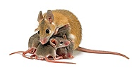 Spiny Mouse mother and babies