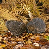 European Hedgehogs
