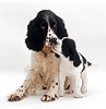 English Springer Spaniel puppy nuzzling adult