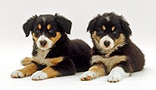 Two tricolour Border Collies puppies