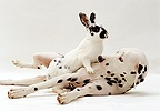 Black-and-white rabbit on top of Dalmatian dog