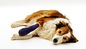 Sable Border Collie with bandage