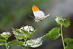 Orange-tip Butterfly in flight