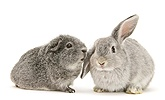 Young silver windmill eared rabbit and silver Guinea pig