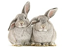 Young silver windmill eared rabbits
