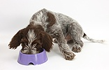 Spinone pup eating from a plastic bowl