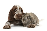 Spinone pup with rabbit
