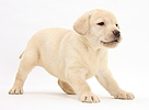 Yellow Labrador Retriever puppy, 7 weeks old