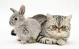 Baby silver Lop rabbit with silver tabby Exotic cat