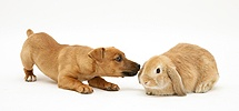 Puppy with dwarf Sandy Lop rabbit