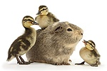 Guinea pig and three Mallard ducklings