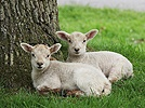 Lambs in late spring