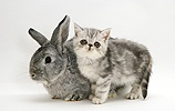 Silver Exotic kitten with silver Lop rabbit