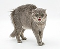 Maine Coon cat in fierce defensive posture