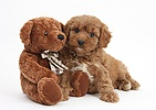 Cavapoo pup, 6 weeks old, and soft teddy bear